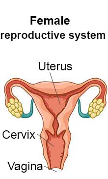 female reproductivesystem